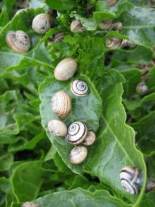 escargot dining on sea beet