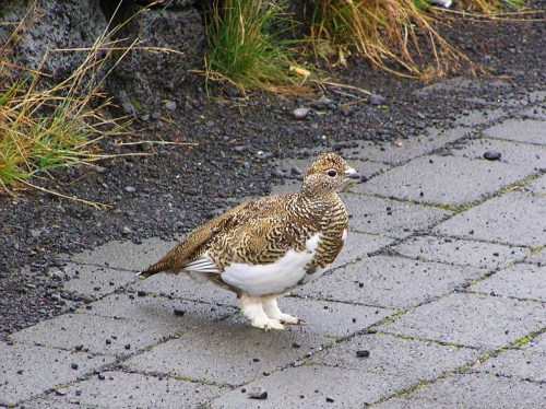 Woolly-feeted Ptarmigan!! (photo by Leah Arnold)